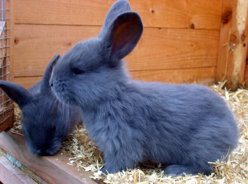 Baby American Blue Rabbit